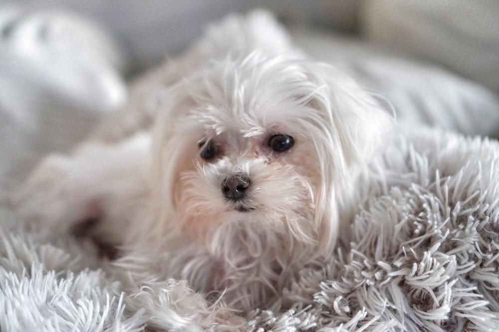 Cachorros para apartamento - Maltês