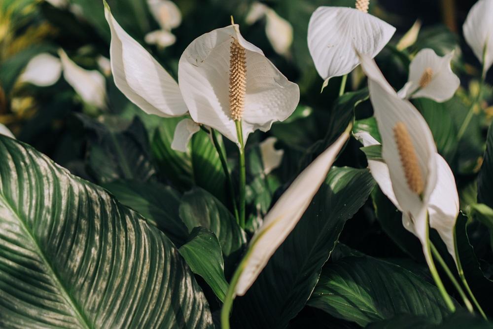 Plantas no quarto - Lírio