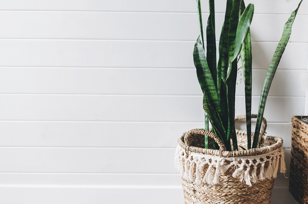 Plantas no quarto - snake plant